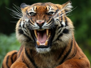 wild tiger images