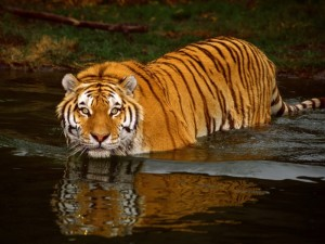 tiger pictures free
