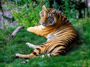 tiger picture gallery