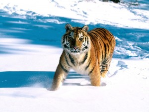 tiger pictures wallpaper