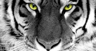 tiger-eyes-wild-animal-picture-and-layout_136930