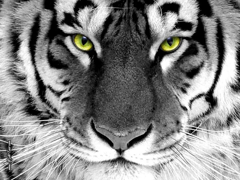 Pictures Of Tigers Tiger Photos Images