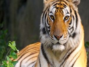 free tiger pictures