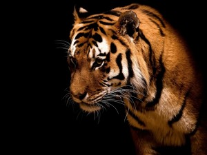 tiger images pictures