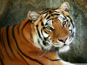 free tiger images